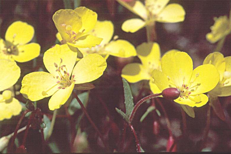Camissonia sierrae