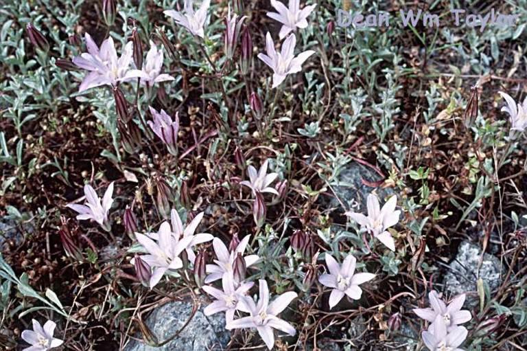 Brodiaea coronaria ssp. rosea