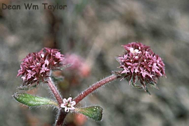 Chorizanthe robusta image