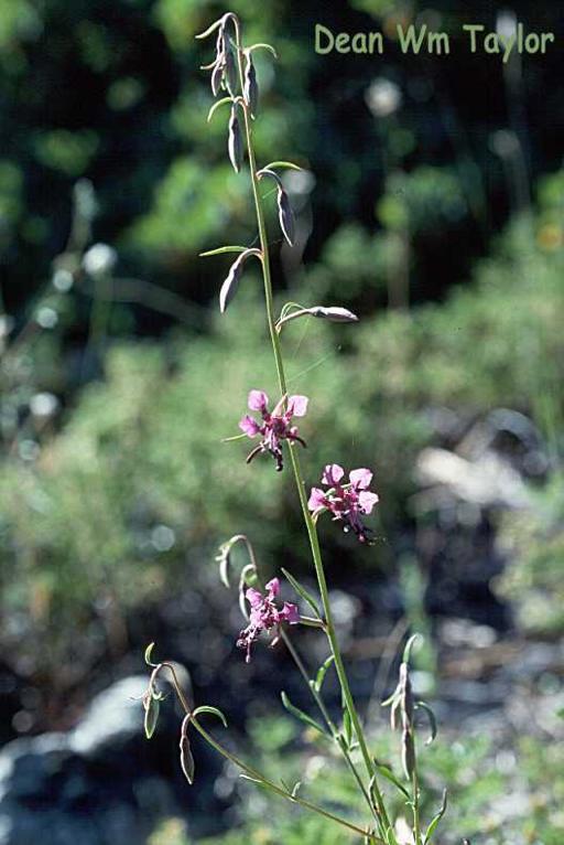 Clarkia australis