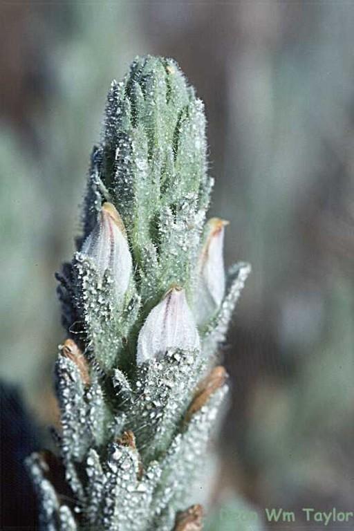 Cordylanthus palmatus image
