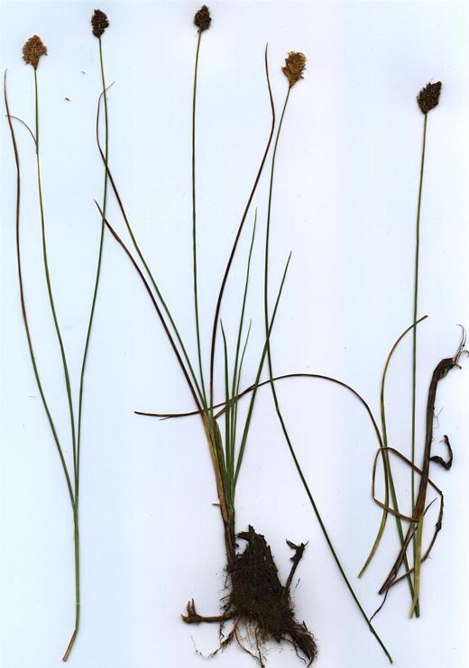 Carex simulata
