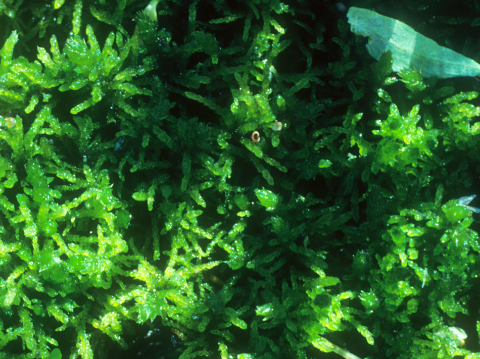 Helodium blandowii