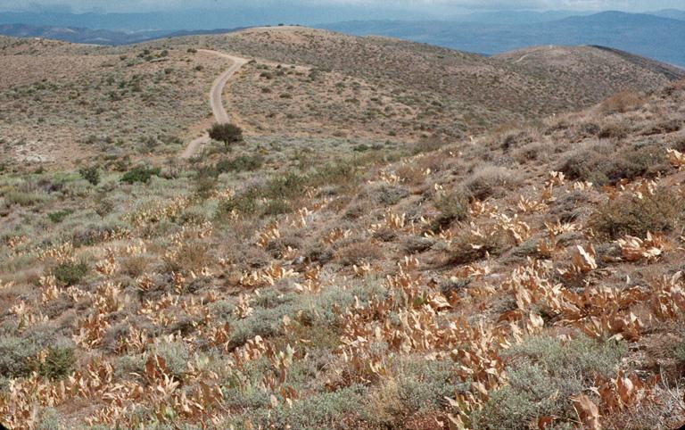 Artemisia arbuscula ssp. arbuscula
