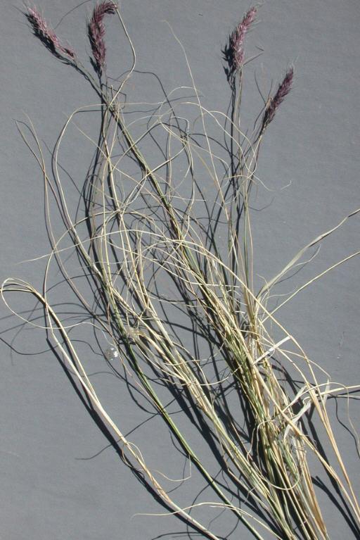 Muhlenbergia pauciflora