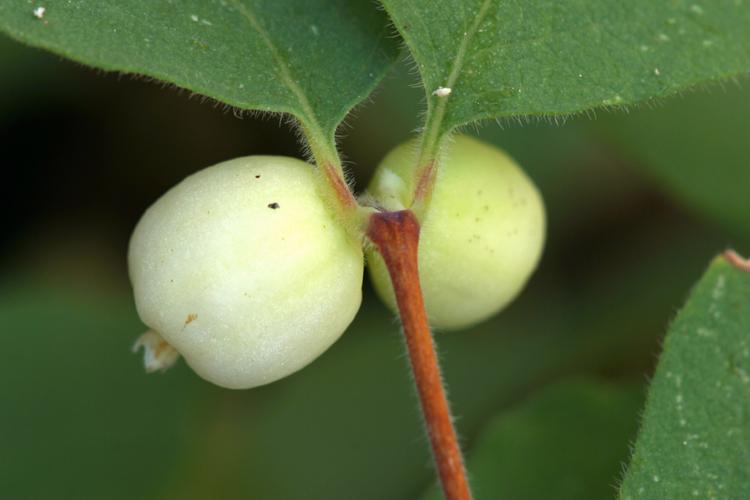 Symphoricarpos hesperius