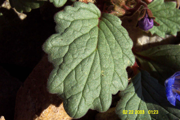 Phacelia nashiana