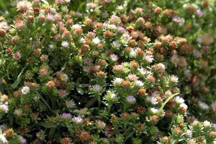 Aster frondosus