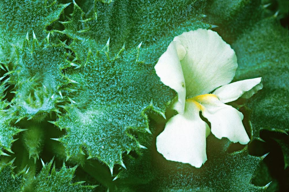 Holmgrenanthe petrophila
