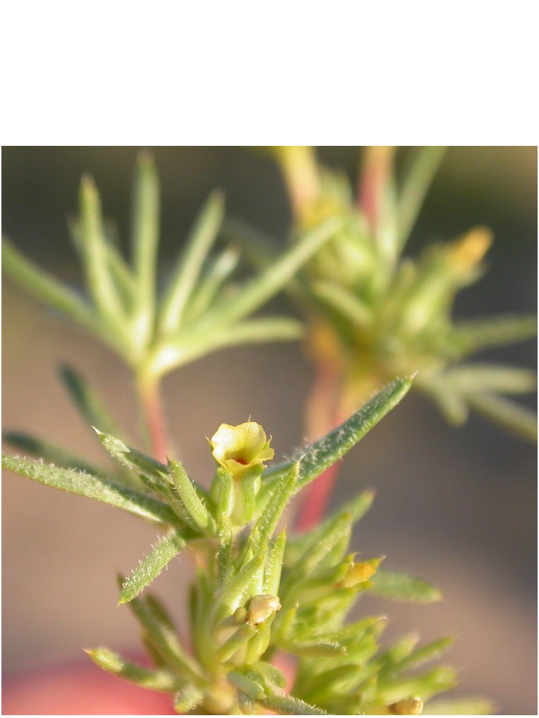Linanthus arenicola