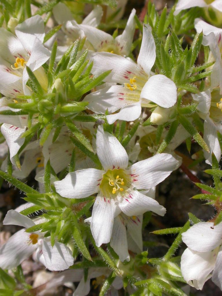 Linanthus demissus