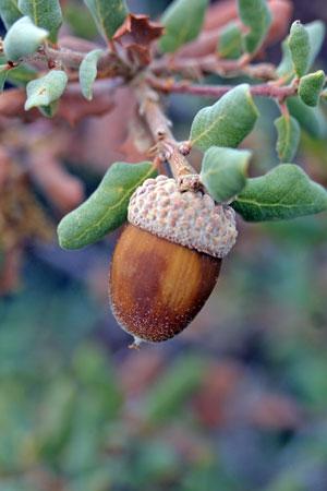 Quercus durata var. durata