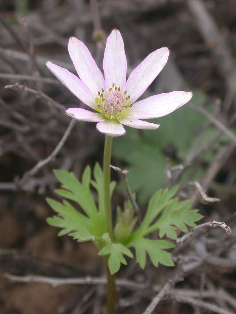 Anemone tuberosa