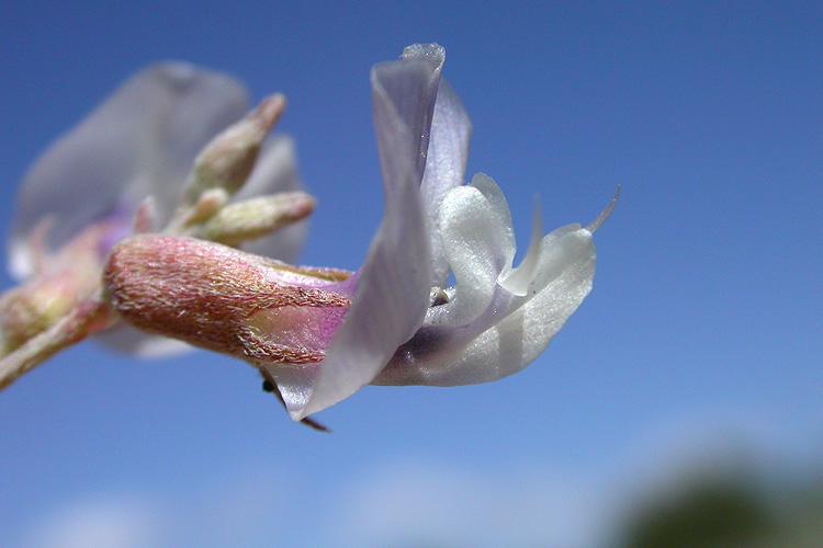Astragalus calycosus
