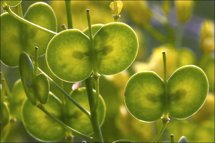 CalPhotos: Biscutella laevigata; Buckler Mustard: calphotos.berkeley.edu/cgi/img_query?enlarge=0000+0000+1006+0078