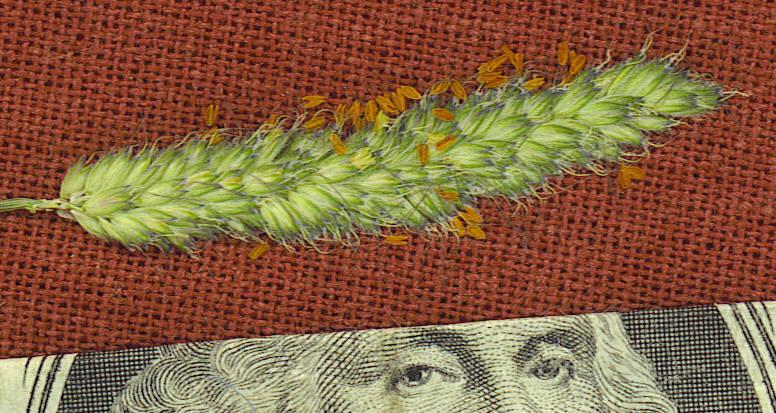 Alopecurus carolinianus