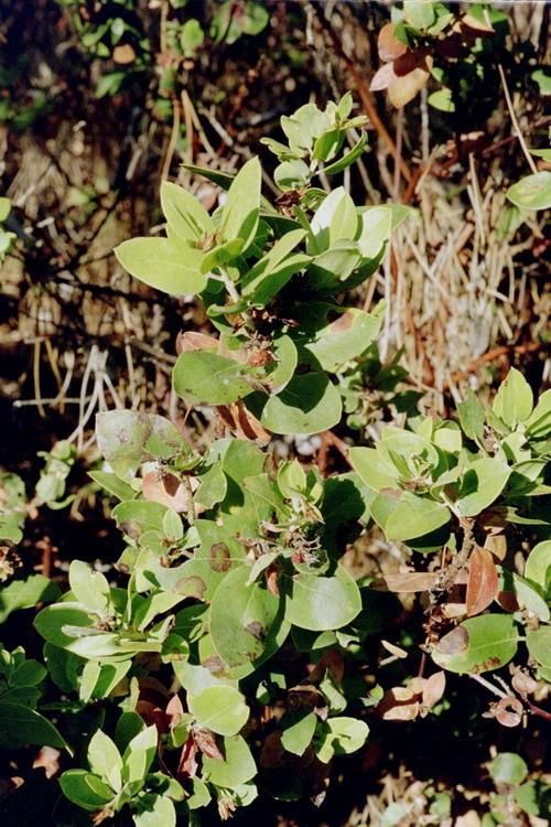 Arctostaphylos tomentosa ssp. eastwoodiana