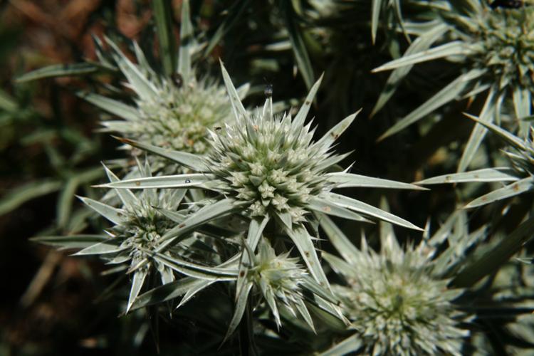 Eryngium pinnatisectum