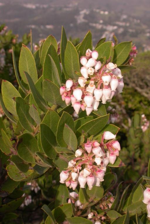 Arctostaphylos montaraensis