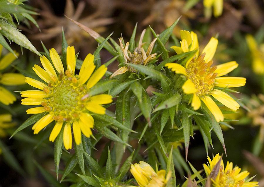 Hemizonia parryi ssp. parryi