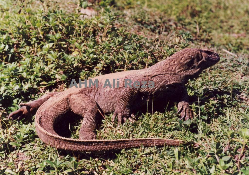 CalPhotos: Varanus bengalensis; Bengal Monitor