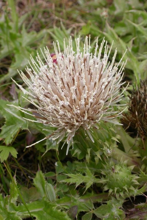 Cirsium quercetorum