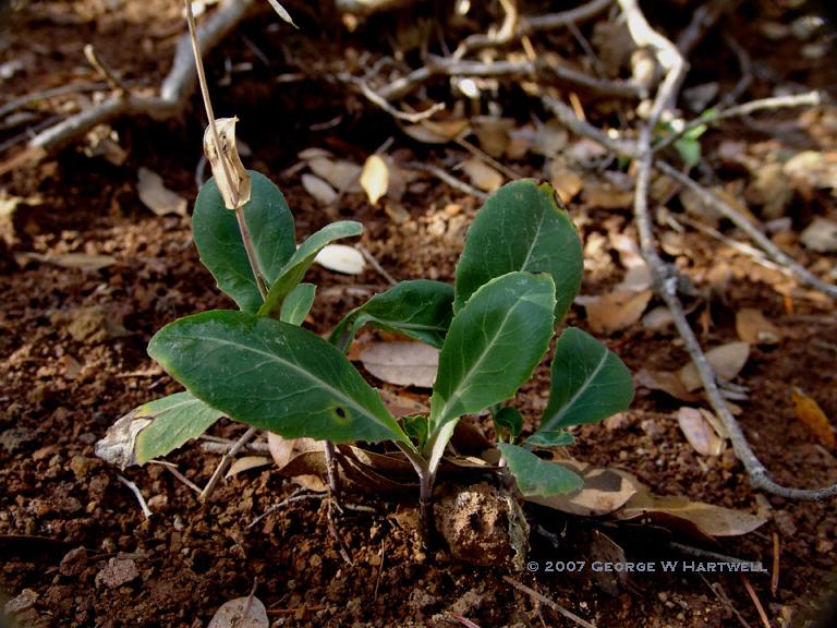 Streptanthus longisiliquus