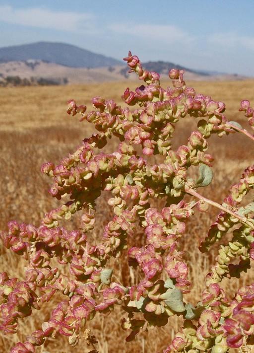 Atriplex lentiformis ssp. lentiformis
