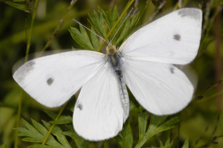 little white butterflies