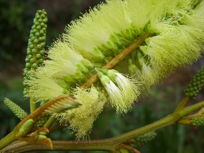Albizia lophantha
