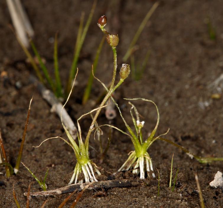 Subularia aquatica