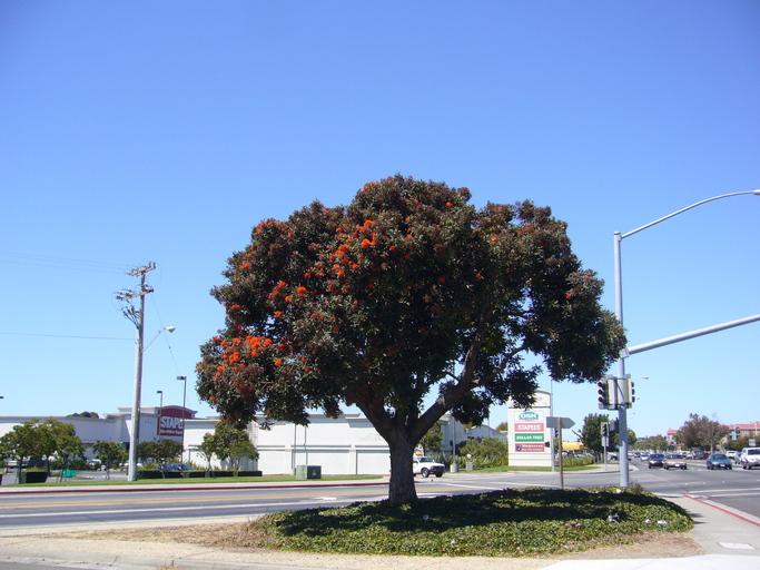 CalPhotos: Eucalyptus ficifolia; Red Flowering Gum
