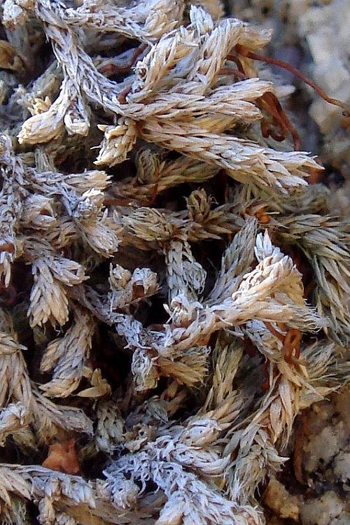 Selaginella asprella