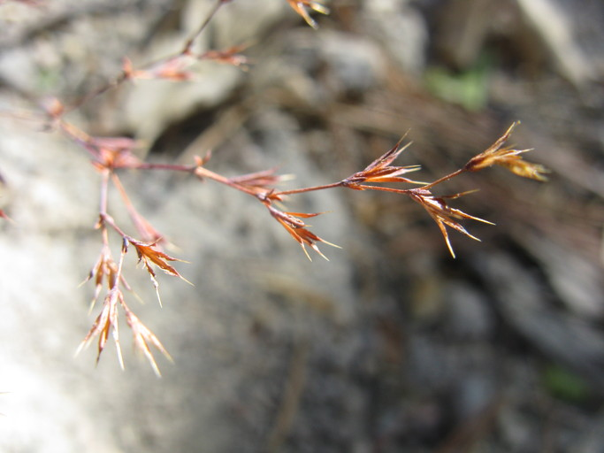 Sidotheca caryophylloides