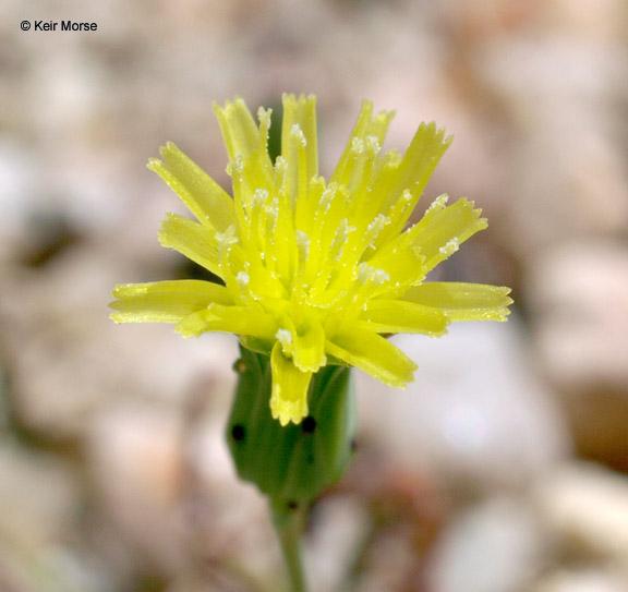 Malacothrix clevelandii