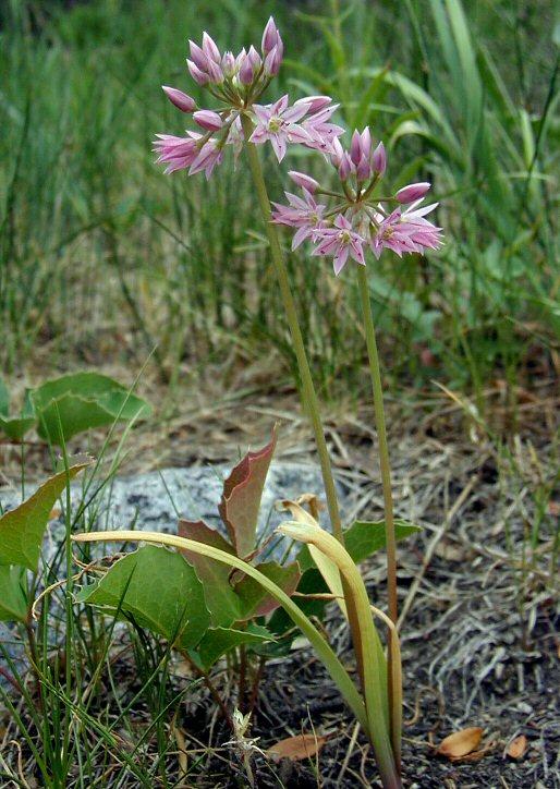 Allium bisceptrum