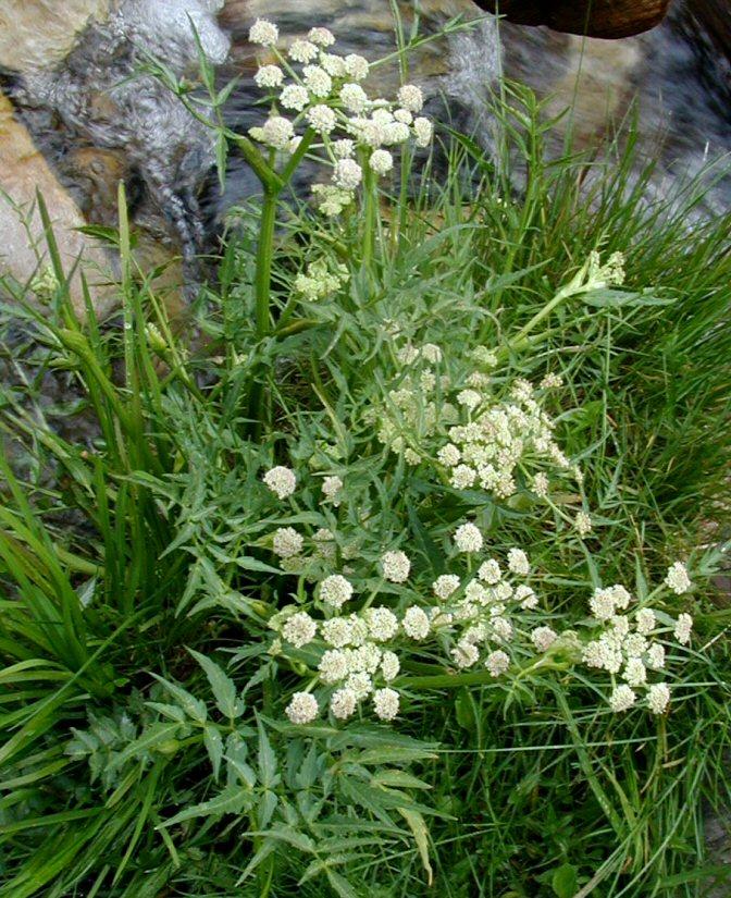 Cicuta maculata var. angustifolia