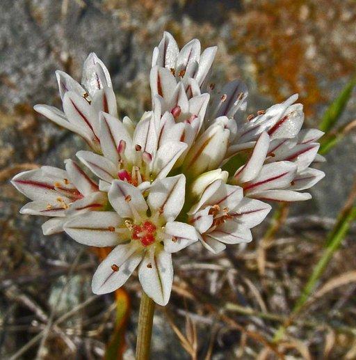 Allium lacunosum