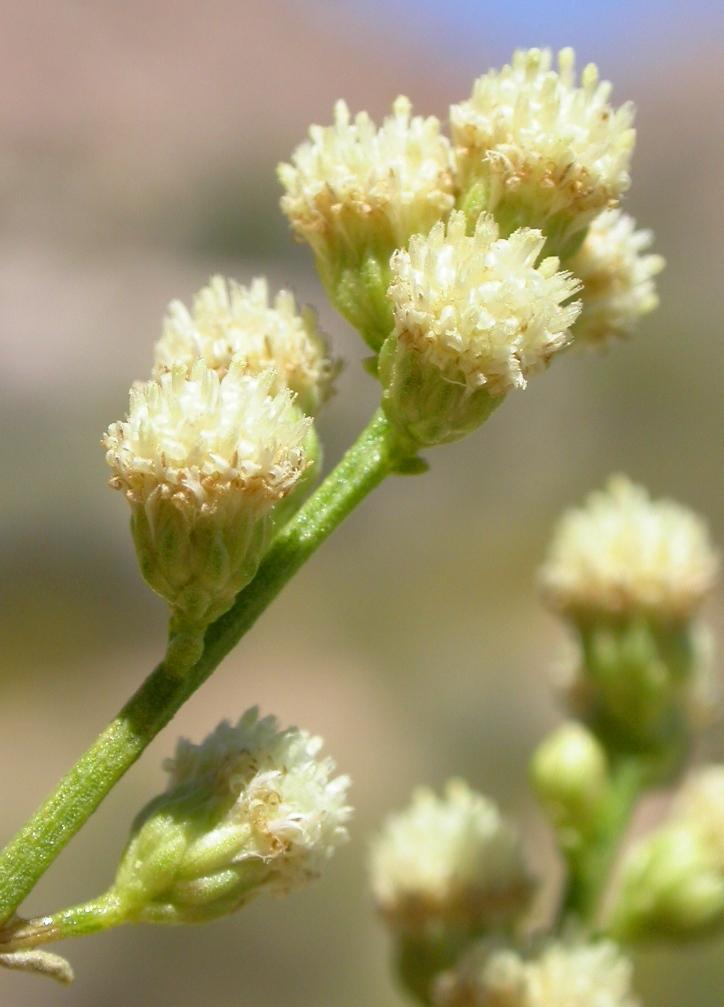 Baccharis sergiloides