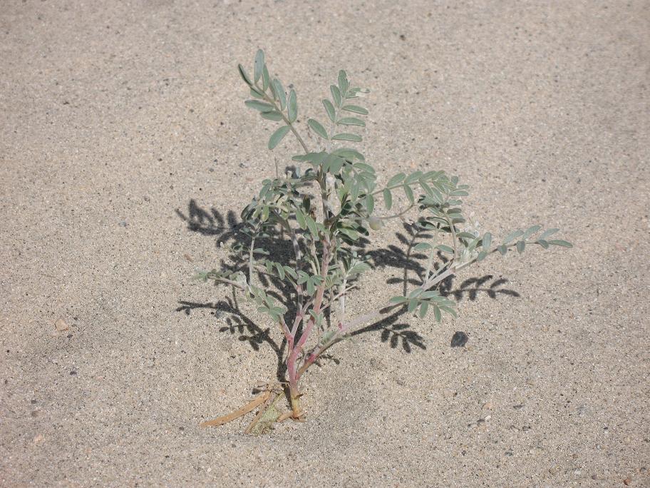 Astragalus aridus