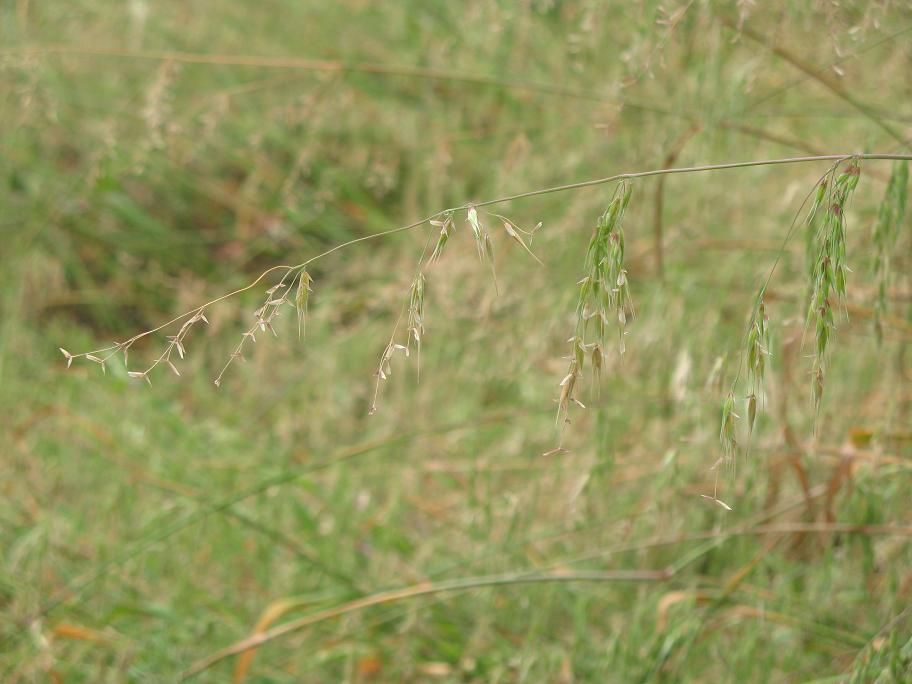 Ehrharta longiflora
