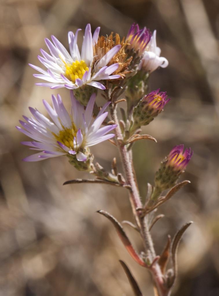 Symphyotrichum defoliatum