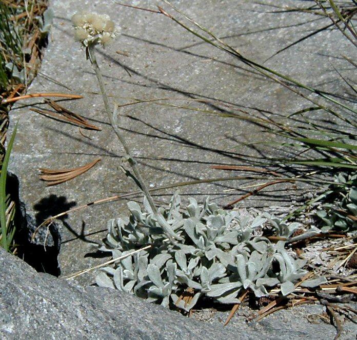 Antennaria umbrinella