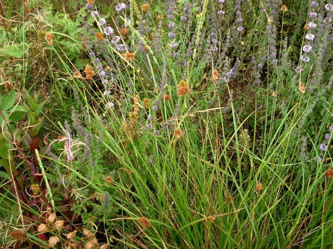 Carex unilateralis