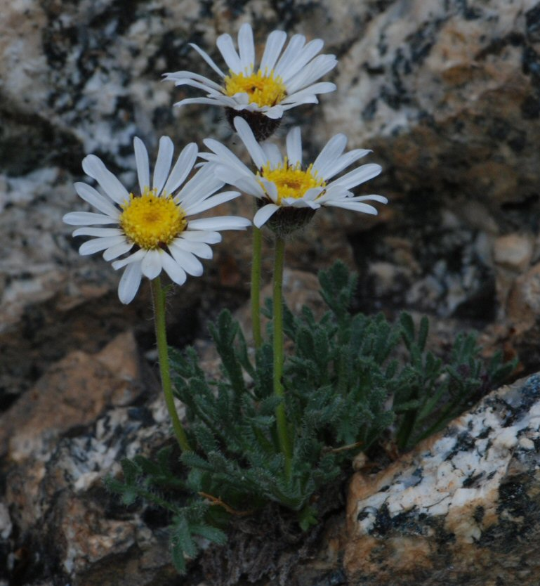 Image of Erigeron compositus