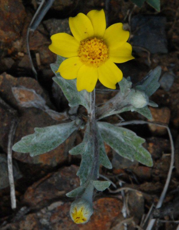 Eriophyllum congdonii