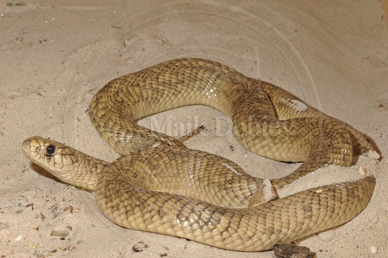 Calphotos Naja Haje Haje Egyptian Cobra