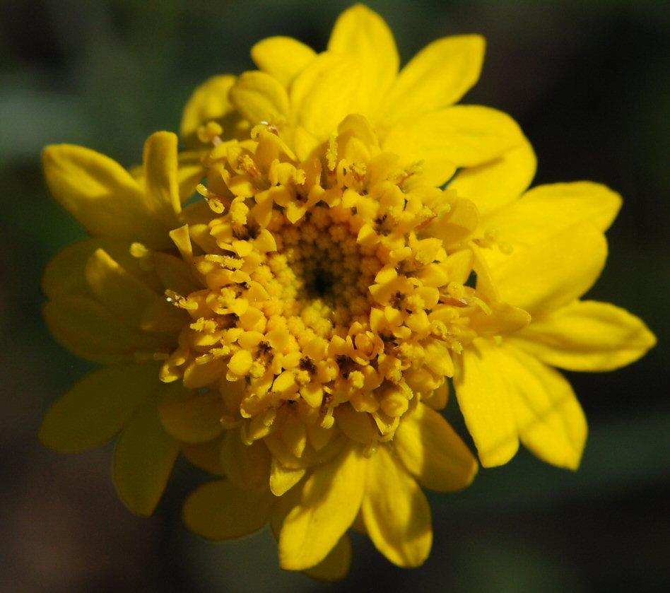 Chaenactis glabriuscula var. megacephala