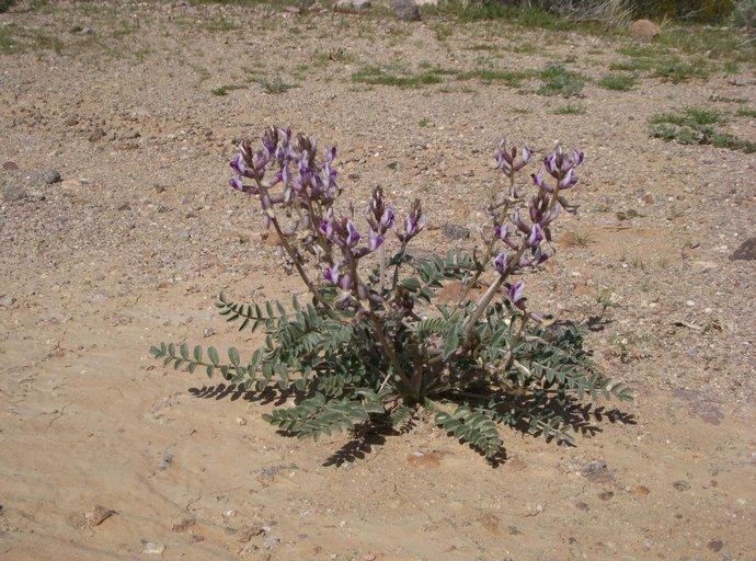 Astragalus layneae