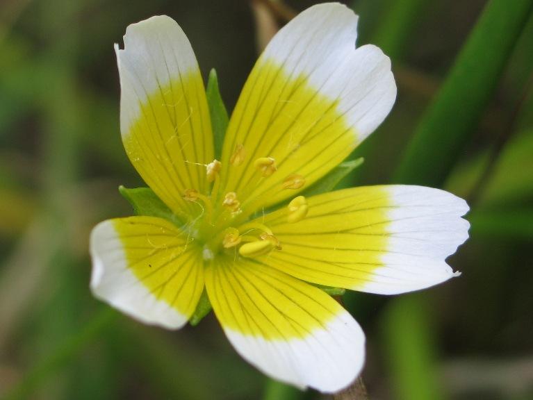 Limnanthes douglasii ssp. douglasii